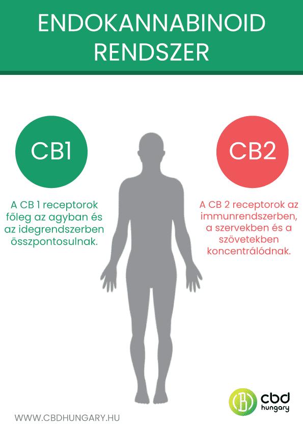 Az endokannabinoid rendszer jelentősége és a kannabinoid receptorok szerepe a szervezetben CBD Hungary
